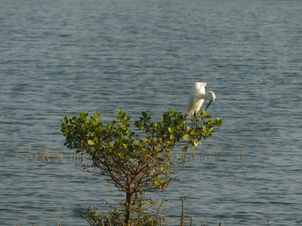 Egret nesting at Kadamakkudy. During the breeding season the white egrets gets whiter in color....Nature's ways are adorable...