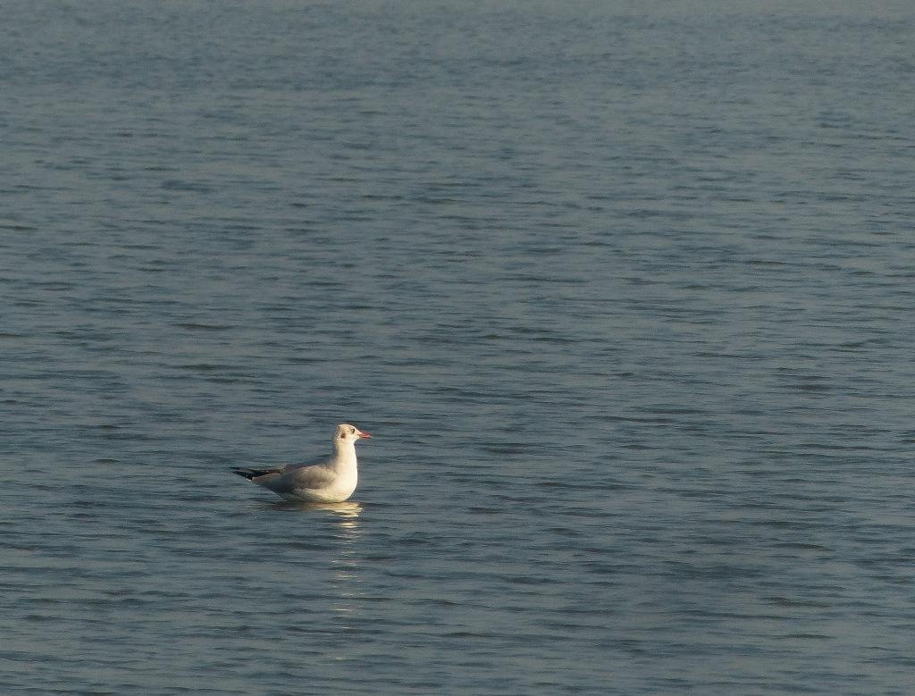 Sea gull at Kadamakkudy