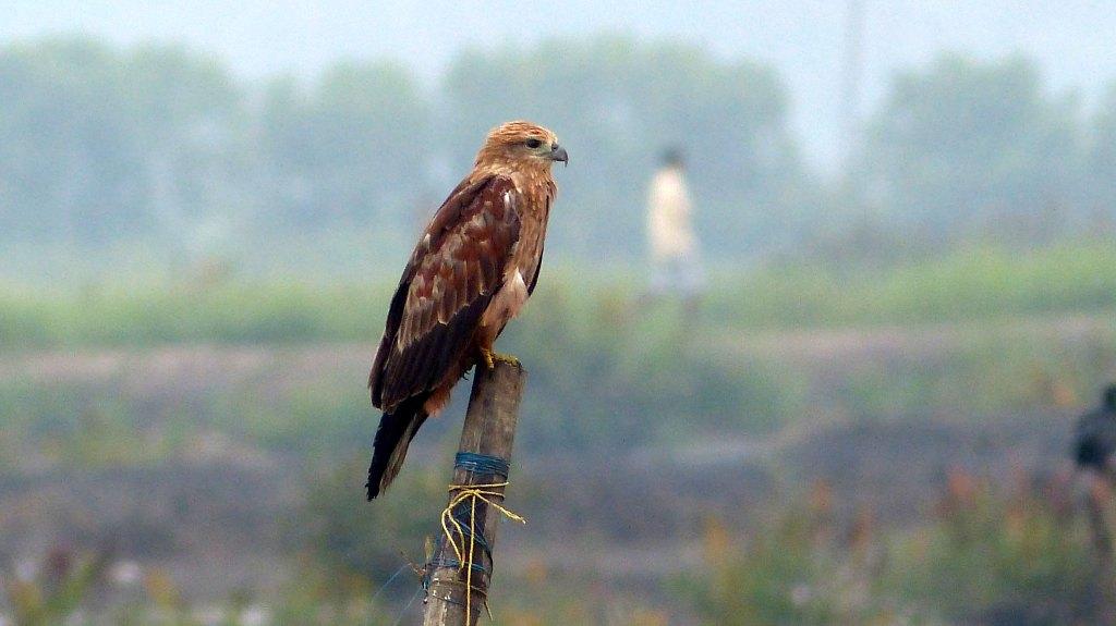Brown Kite at Kadamaky