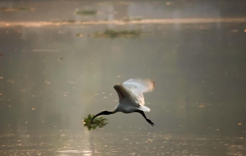 black necked stork in flight at Kadamakkudy